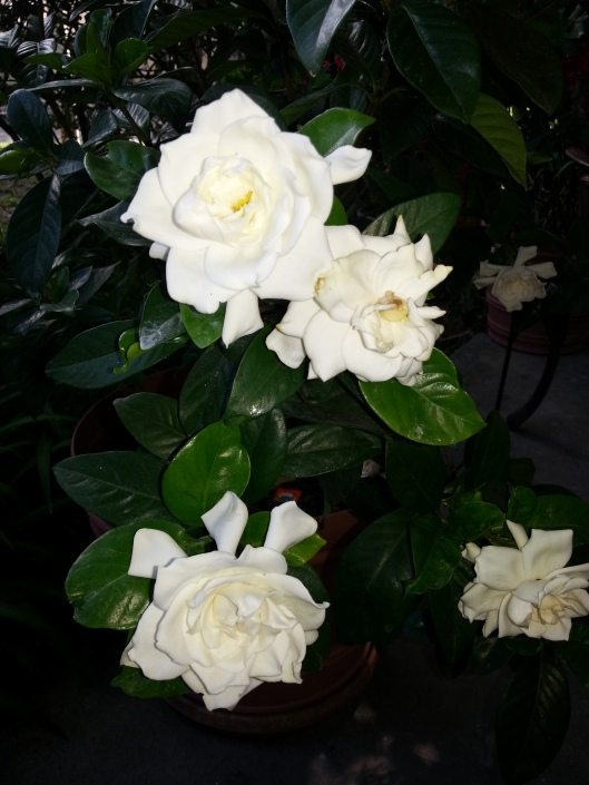 Mom's gardenia put on a nice show of blooms for my arrival.  One of my most favorite scents EVER... nothing beats the fragrance of gardenia.