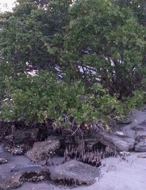 Mangroves... felt like I was back in the Keys. I miss them... strangely, they don't grow around the Great Lakes. ;-p